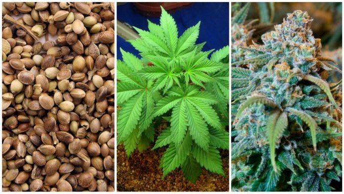 pot seeds online
